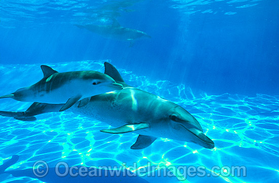 Indo-Pacific Bottlenose Dolphin (Tursiops aduncas) - mother with 6 week old calf. Coastal New South Wales, Australia