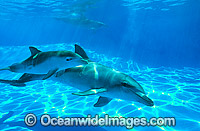 Bottlenose Dolphin mother and calf image