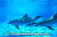 Bottlenose Dolphin mother and companion image
