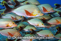 Humpback Snapper Lutjanus gibbus Photo - Gary Bell