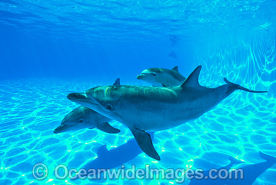 Indo-Pacific Bottlenose Dolphin photo