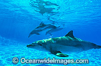 Indo-Pacific Bottlenose Dolphin pod Photo - Gary Bell