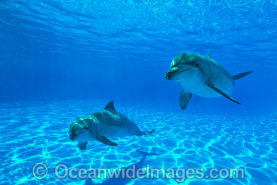 Indo-Pacific Bottlenose Dolphin (Tursiops aduncas) - pair. Coastal New South Wales, Australia