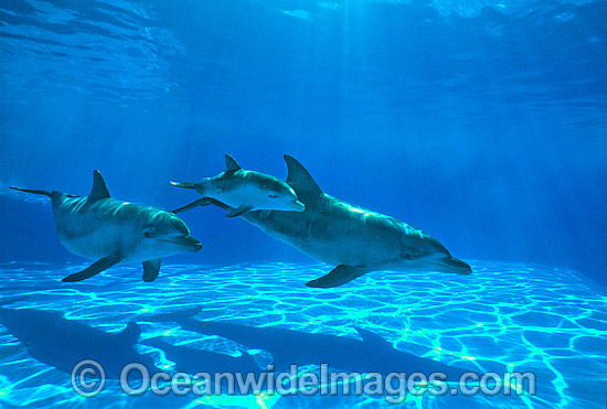 Indo-Pacific Bottlenose Dolphin mother and baby photo