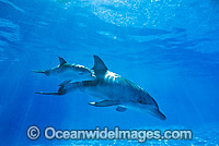 Bottlenose Dolphin mother and baby Photo - Gary Bell
