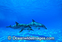 Indo-Pacific Bottlenose Dolphin mother and baby Photo - Gary Bell