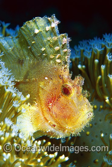 Leaf Scorpionfish (Taenianotus triacanthus) - yellow phase. Also known as Paper Scorpionfish. Indo-Pacific Photo - Gary Bell