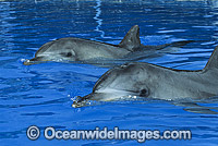 Indo-Pacific Bottlenose Dolphin Tursiops aduncas Photo - Gary Bell