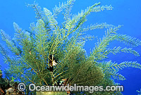Stinging Hydroid Aglaophenia cupressina Photo - Gary Bell