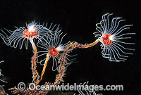 Hydroid colony Photo - Gary Bell