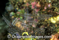 Stinging Hydroid Macrorhynchia philippina image
