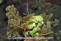 Stinging Hydroid image