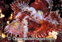 Small-scale Scorpionfish Scorpaenopsis oxycephala photo