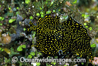 Polyclad Flatworm Thysanozoon nigropapillosum photo