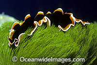 Polyclad Flatworm Pseudobiceros hancockanus photo