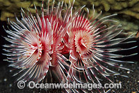 Tubeworm Protula magnifica photo