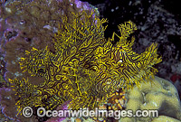Lacy Scorpionfish Rhinopias aphanes Photo - Gary Bell