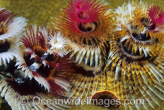 Christmas Tree Worm (Spirobranchus giganteus). Great Barrier Reef, Queensland, Australia