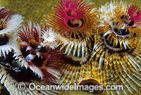 Christmas Tree Worm Photo - Gary Bell