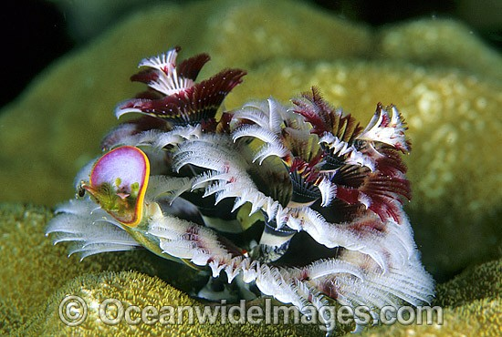 Christmas Tree Worm (Spirobranchus giganteus). Great Barrier Reef, Queensland, Australia Photo - Gary Bell