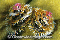 Christmas Tree Worm Spirobranchus giganteus Photo - Gary Bell
