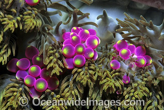 Detail of grape-like vesicles of a Sea Anemone (Actineria sp.). Bali, Indonesia