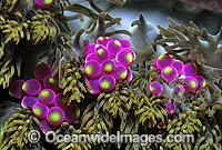 Grape-like Sea Anemone Photo - Gary Bell