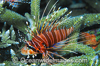 Ragged-finned Lionfish