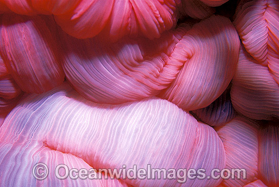 Close detail of the feeding mouth of a Sea Anemone (Heteractis magnifica). Great Barrier Reef, Queensland, Australia