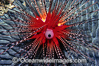 Sea Urchin Diadema palmeri Photo - Gary Bell