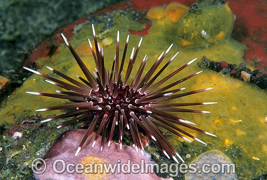 Sea Urchin Parasalenia gratiosa photo