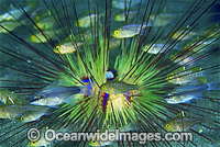 Cardinalfish in Sea Urchin photo