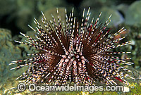 Sea Urchin Echinothrix calamaris photo