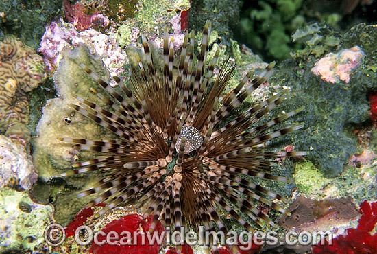 Sea Urchin (Echinothrix calamaris). Bali, Indonesia Photo - Gary Bell