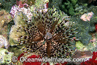 Sea Urchin Echinothrix calamaris Photo - Gary Bell