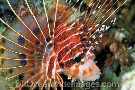 Ragged-finned Lionfish (Pterois antennata). Also known as Spotfin Lionfish. Great Barrier Reef, Queensland, Australia
