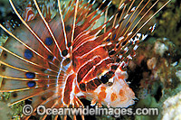 Ragged-finned Lionfish Pterois antennata