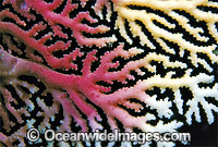 Lace Coral Great Barrier Reef photo