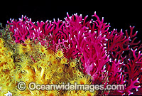 Lace Coral and Yellow Zoanthids photo