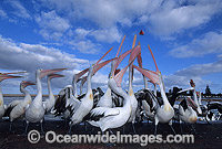 Australian Pelicans eager for a feed image