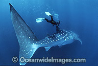 Whale Shark and Diver Photo - Gary Bell