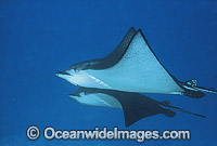 White-spotted Eagle Ray Aetobatus narinari