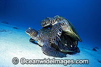 Mating Green Sea Turtles Chelonia mydas