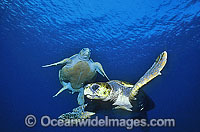 Pair of Green Sea Turtles Chelonia mydas Photo - Gary Bell