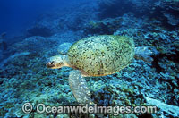 Green Sea Turtle camouflaged against reef