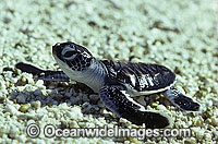 Green Sea Turtle hatchling Photo - Gary Bell