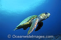 Loggerhead Sea Turtle Photo - Gary Bell