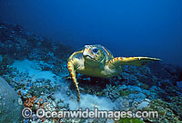 Loggerhead Sea Turtle Caretta caretta Photo - Gary Bell