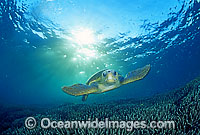 Loggerhead Sea Turtle photo