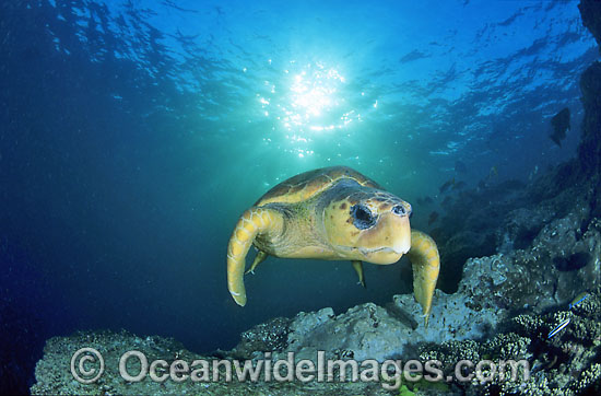 Loggerhead Sea Turtle (Caretta caretta). Great Barrier Reef, Queensland, Australia. Found in tropical and warm temperate seas worldwide. Endangered species listed on IUCN Red list.